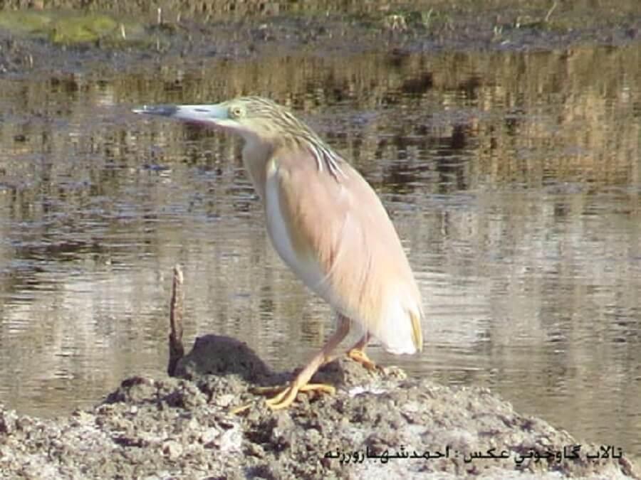 bird talab 3 - پرندگان تالاب گاوخونی