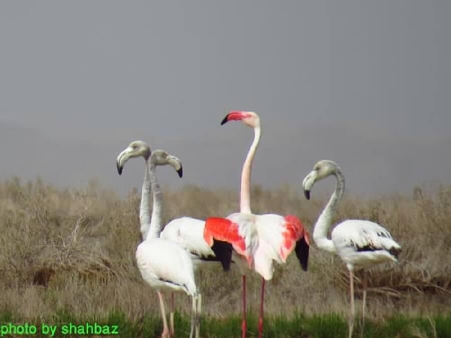 felamingo talab gavkhoni 2 - تالاب گاوخونی ۹۴/۰۲/۱۷ آخرین بازماندگان