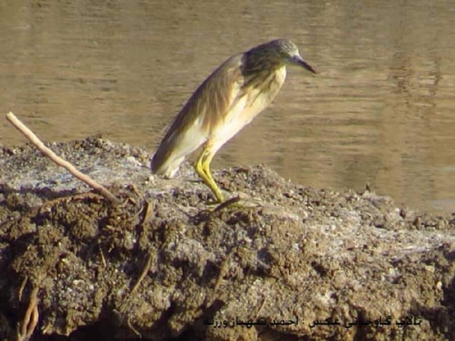 bird talab 2 - پرندگان تالاب گاوخونی