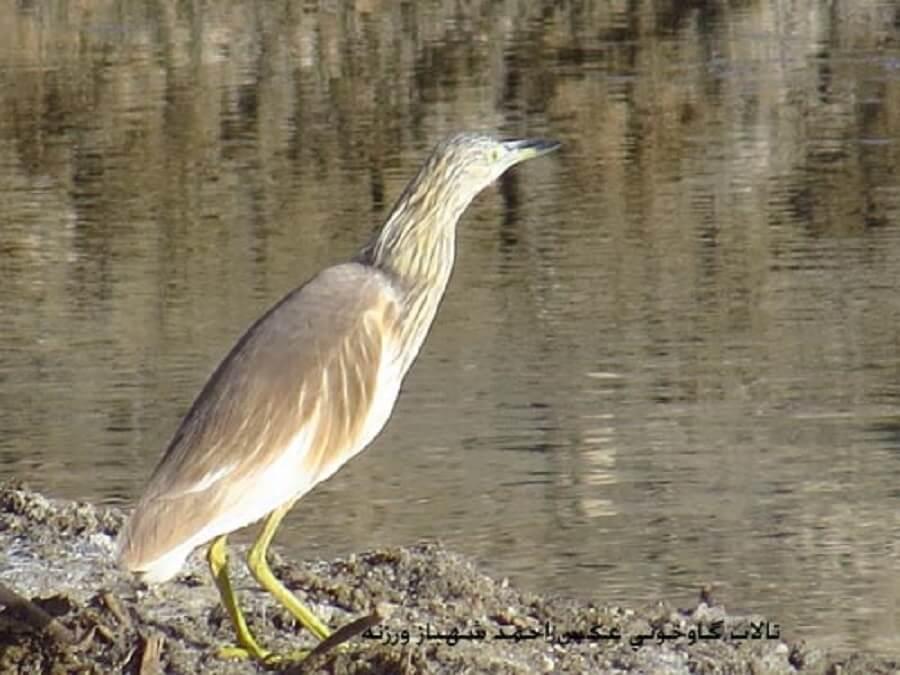 bird talab 5 - پرندگان تالاب گاوخونی
